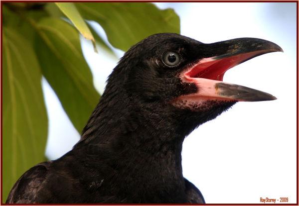 Broad-billed Crow