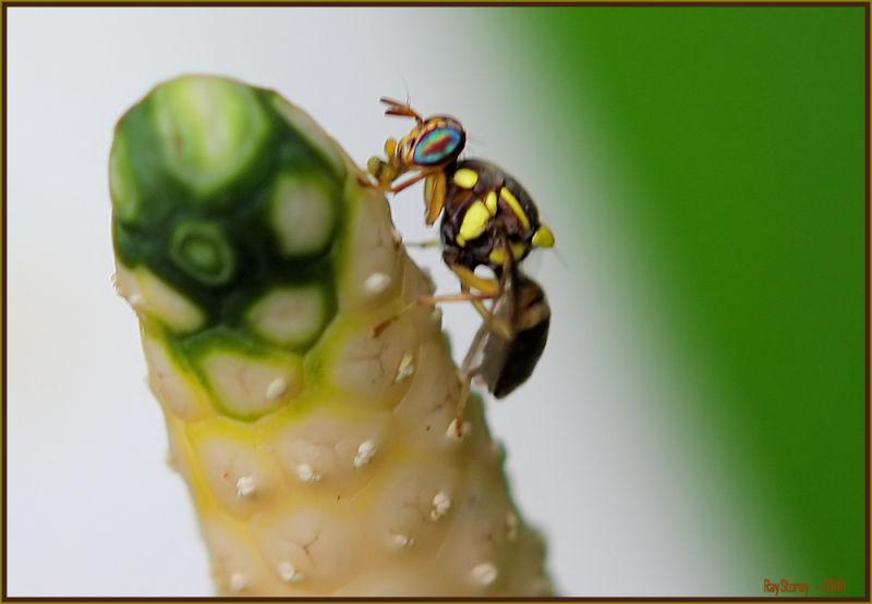 Arum wasp on arum lily