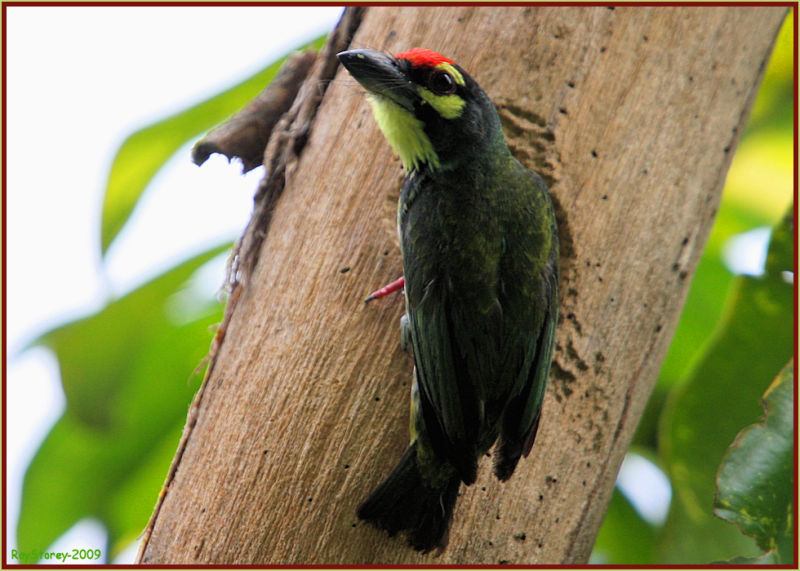 Male Coppersmith Barbet feeds its young