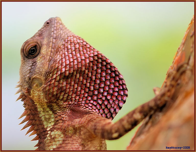 Male lizard shows his throat pouch