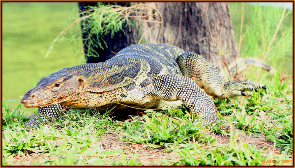 Big water monitor in the park