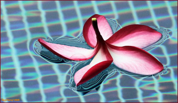 Frangipani on the pool