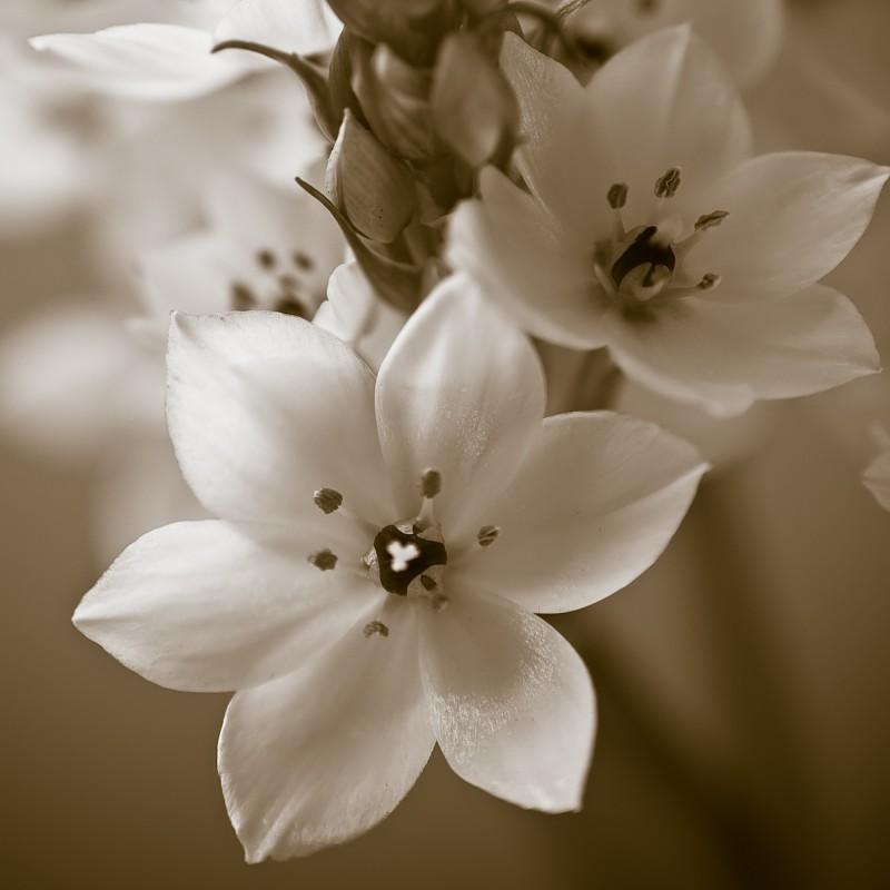 fleurs de Ornithogalum