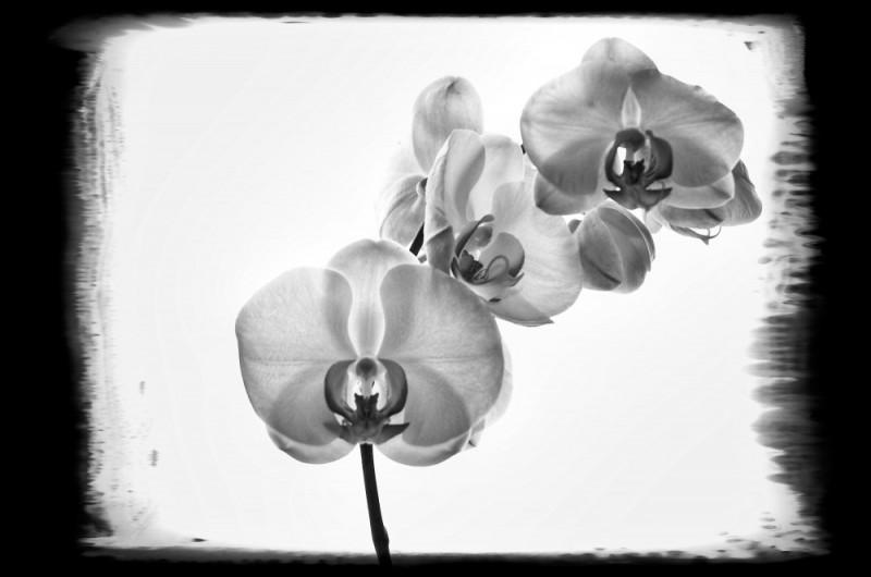 B&W, Phaleanopsis, Photoframe, orchidée