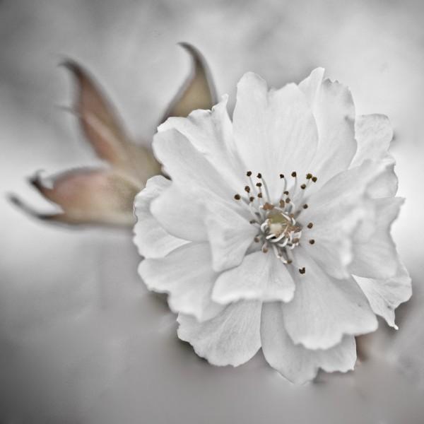 Fleur, B&W