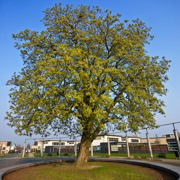 Tree, Woudhuizerallee, Apeldoorn