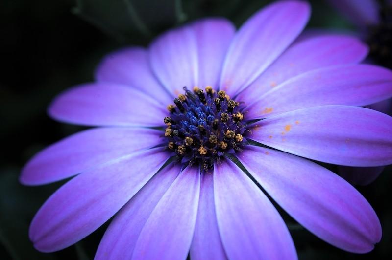 Purple-Muted, Osseveld, Apeldoorn Osteopermum