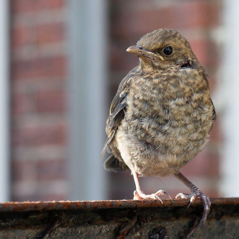 Wounded bird, Haarlem