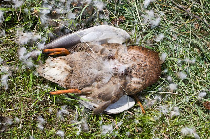 Dead Duck, Haarlem