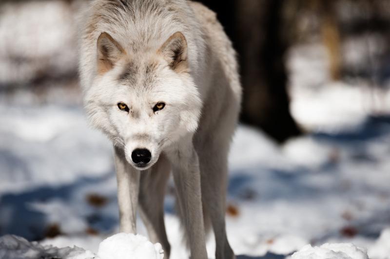 un loup dans la forêt