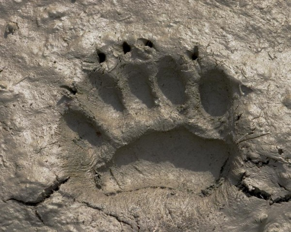 Barkerville Bear paw