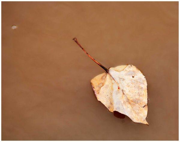 Fraser River Leaf