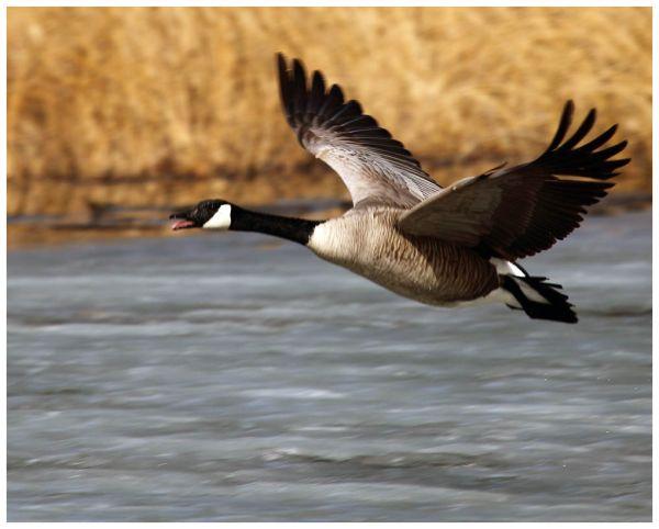 Lead Goose