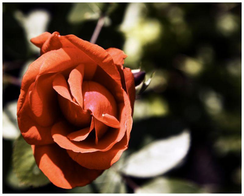 A Simple Rose