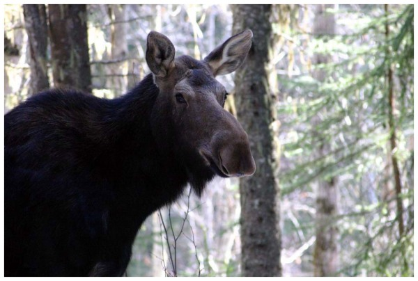 Stubborn Moose