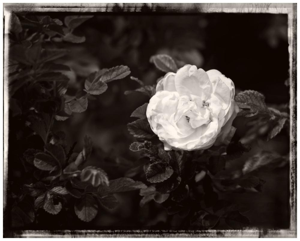 Rose Coloured