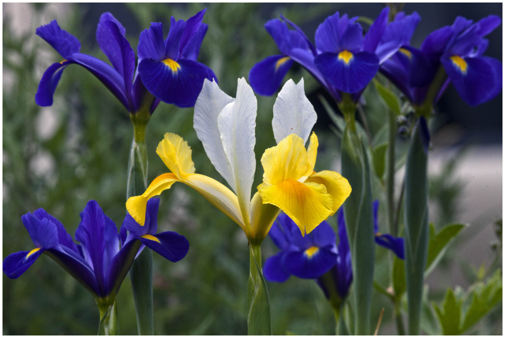 An Iris Among Irises