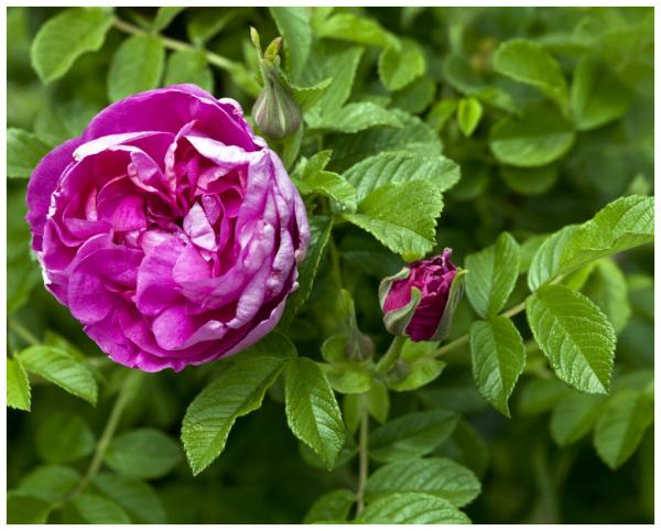 Pavement Rose