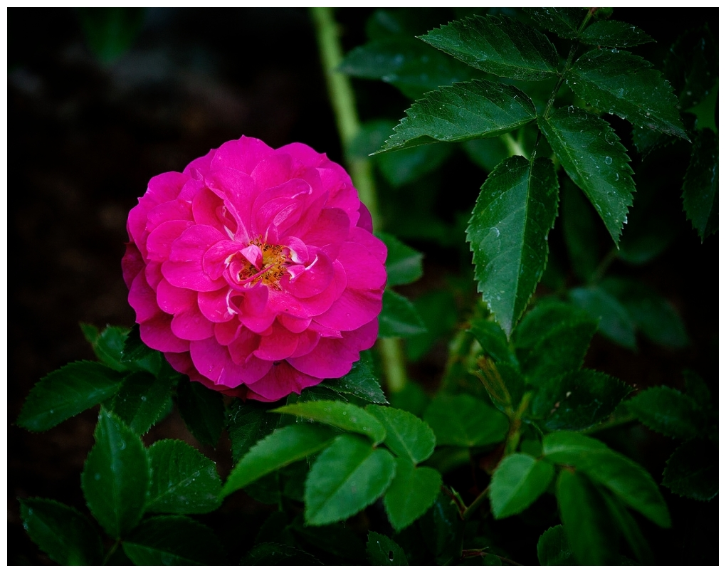 I Think It Is A John Cabot Rose