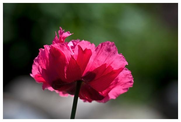 Petals Rising