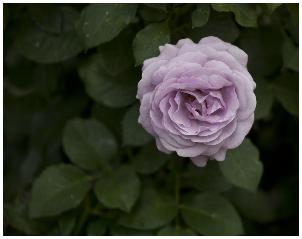Lady Violet