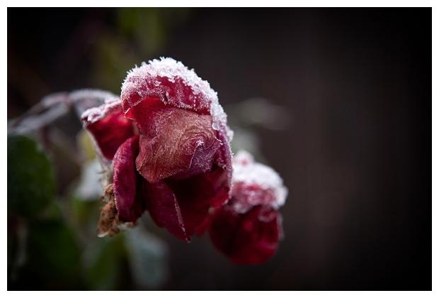 Rose In November
