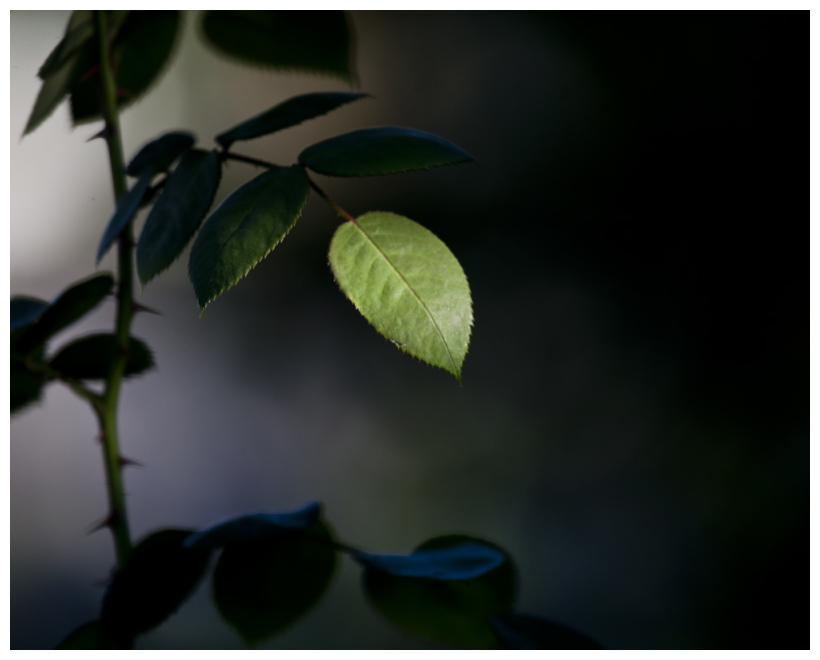 Rose Leaf In Beam Of Light
