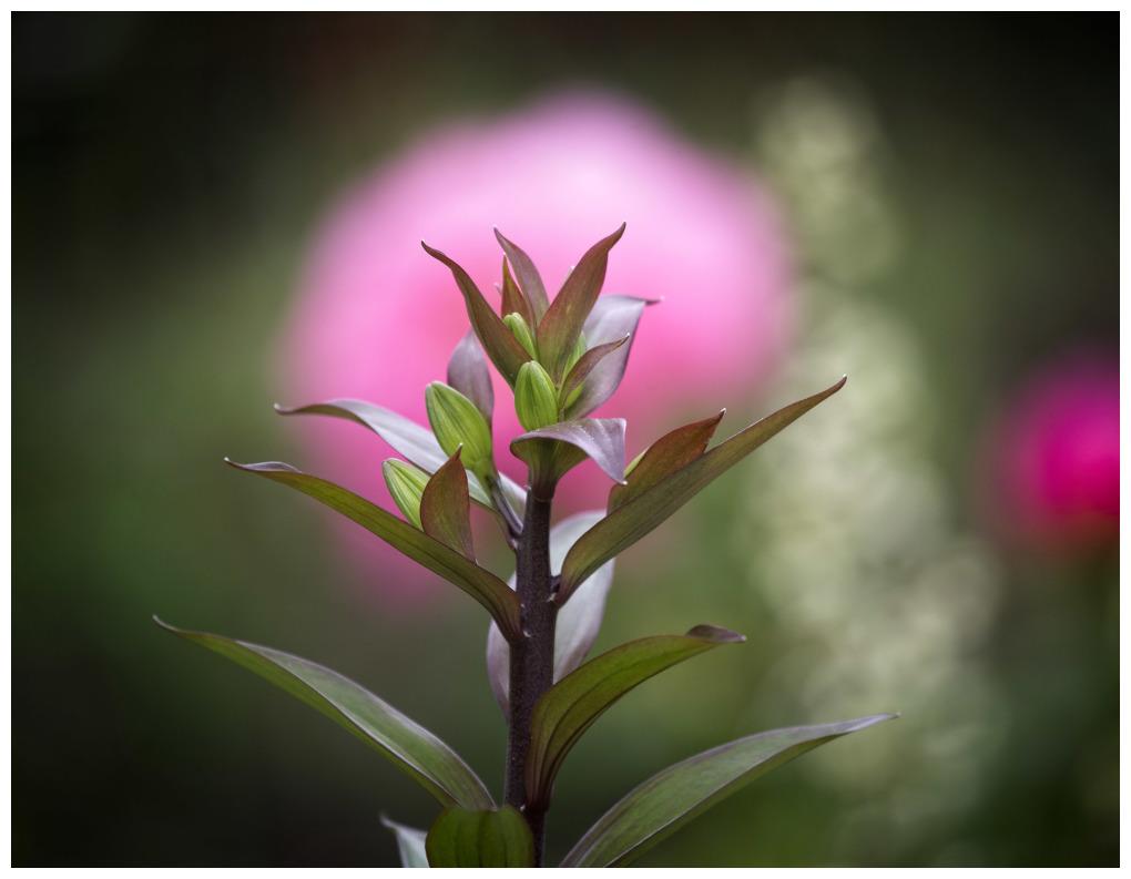 Peony Bloom Behind Lily Leaves