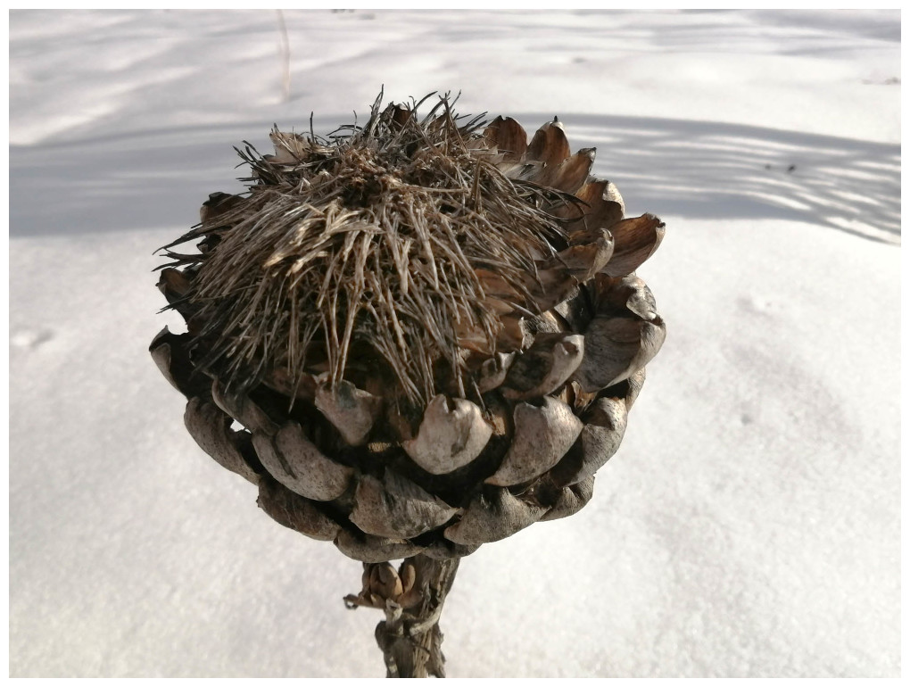 Artichoke In Winter