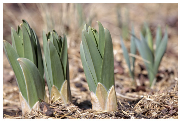 Foxtail Lilies Rising