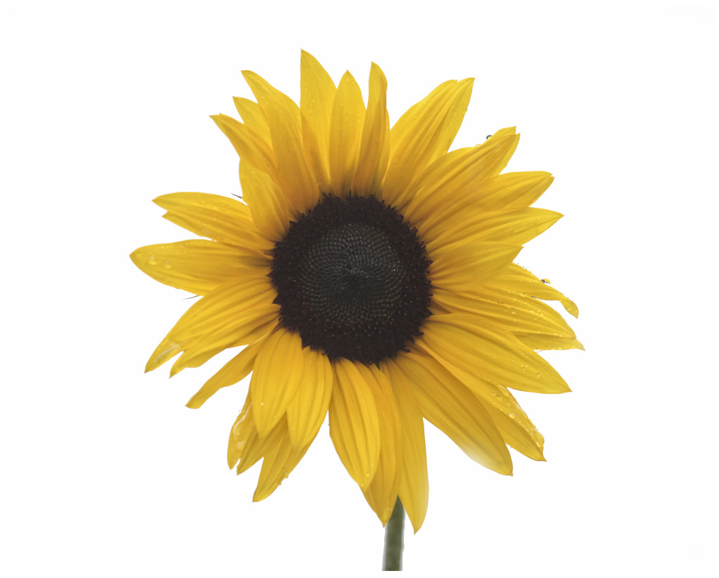 Sunflower In The Rain