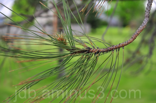 Branch and Needles