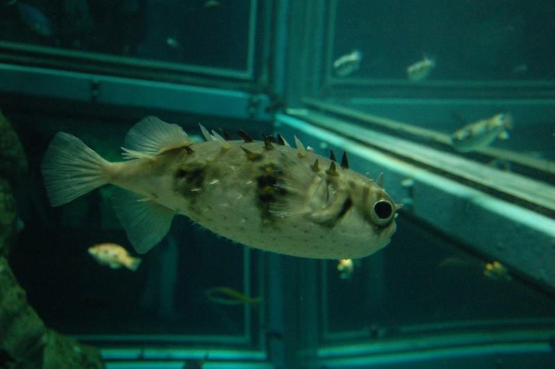 A pufferfish from Osaka Aquarium