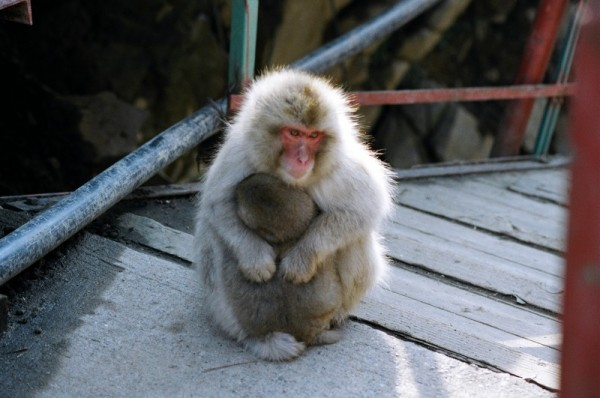 A monkey at Jigokudani Onsen.