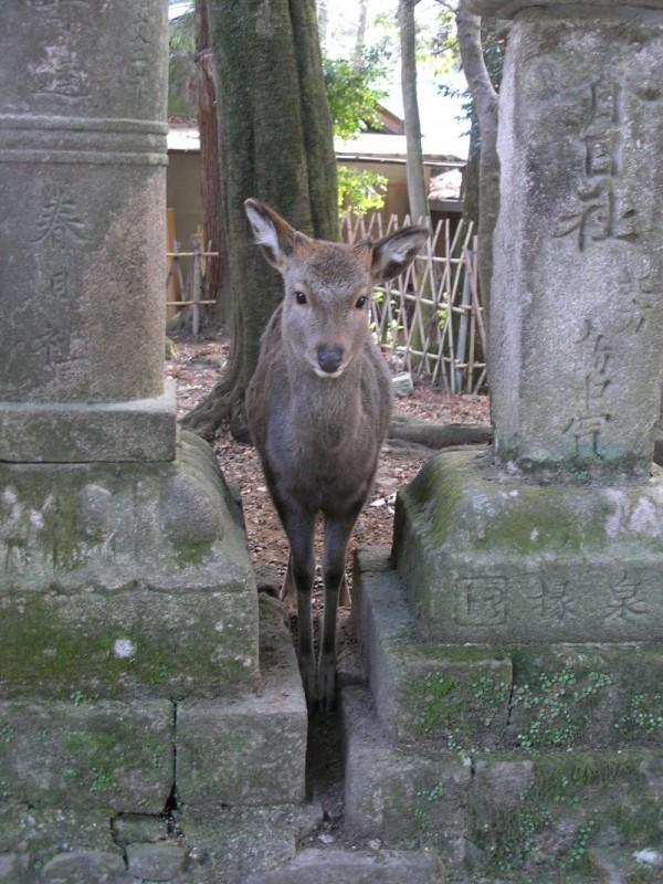 A deer at Nara.