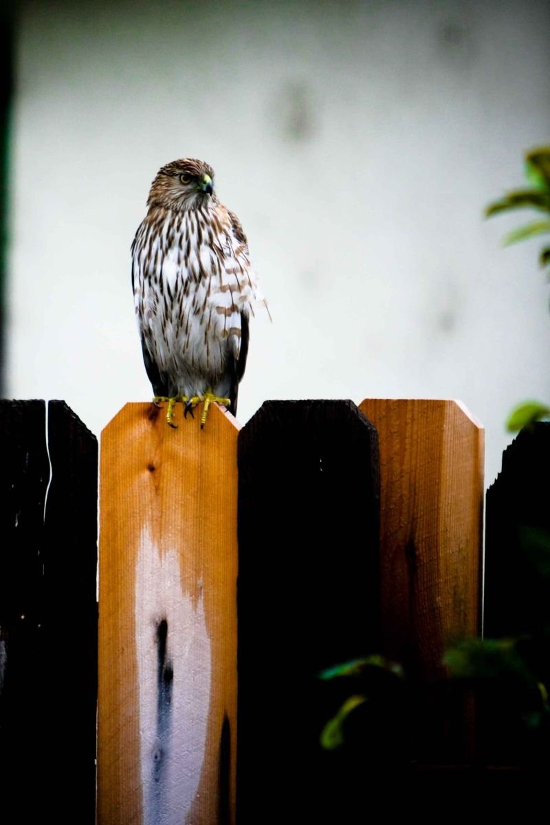 A beautiful hawk came to pay me a visit :)