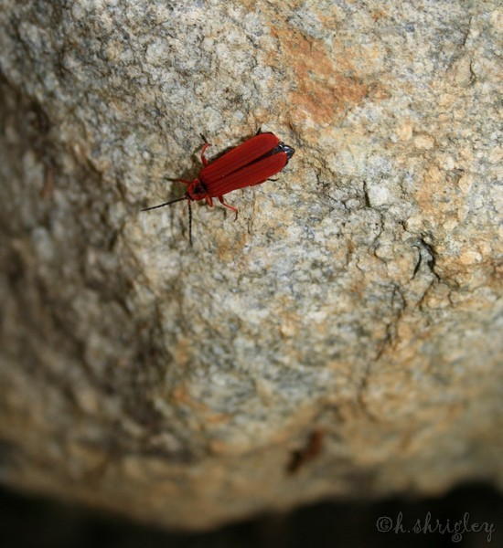 Red Bug on Rock