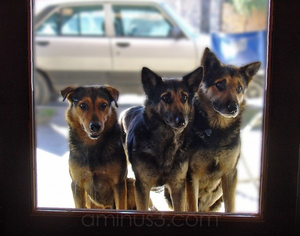 Three dogs look at into the bar