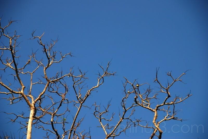 June Plum Tree