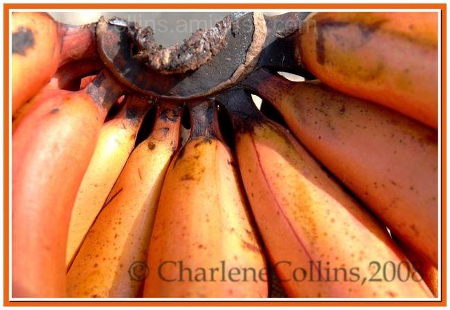 Honey Banana Jamaica Exotic fruit
