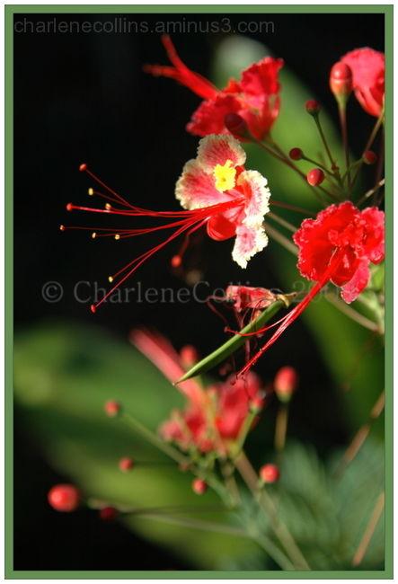 Jamaica Flower