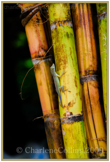 Sugarcane Jamaica cane sweet local food