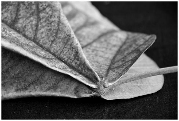 Jamaica Leaf tree