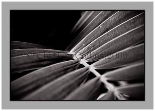 Jamaica Fern palm frond