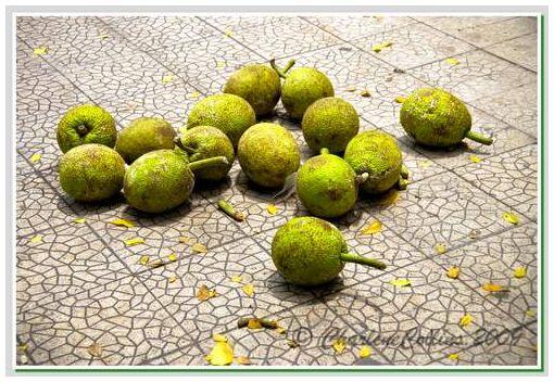 Breadfruit Jamaica Street
