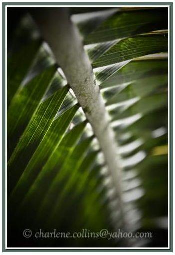 Jamaica Plant coconit palm