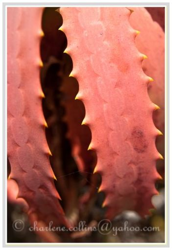 Jamaica Cinchona Bromeliad Aloe Vera