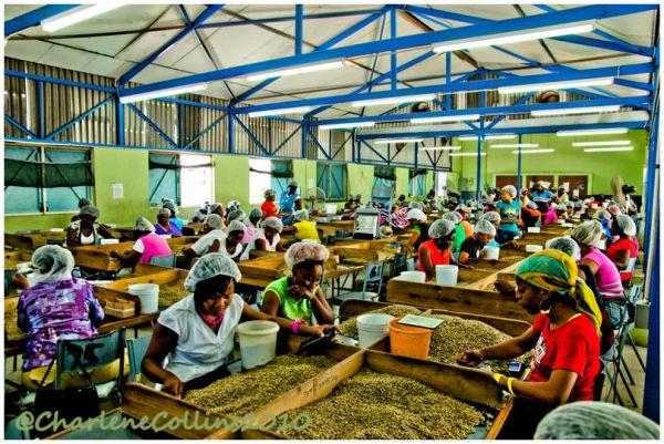 Industry Kingston Coffee factory Blue Mountain