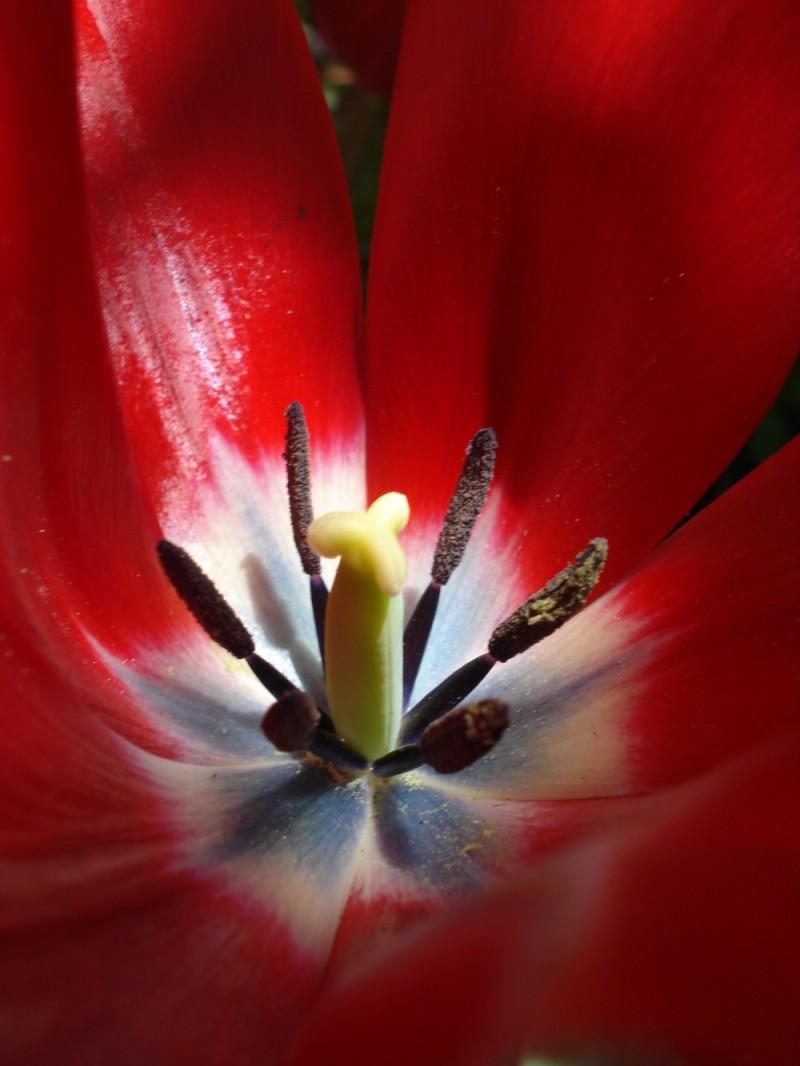 Tulip Soul 7