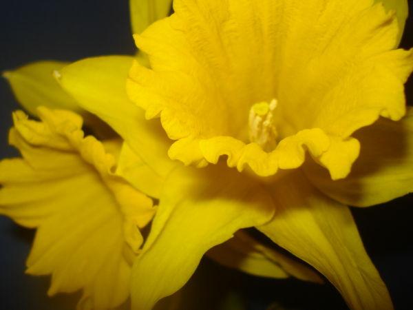Evening Daffodils